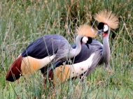 These stunning CROWNED CRANES have obviously just returned from the hairdresser.