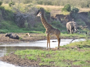 The MARA RIVER in Kenya is the scene of much violence when crocodiles take down migrating wildebeest, but we spotted this buffalo, giraffe and elephant peacefully co-existing.
