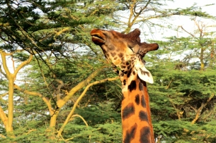 Lovely, lanky GIRAFFES are everyone's favourites, nibbling green shoots from the tallest acacias.