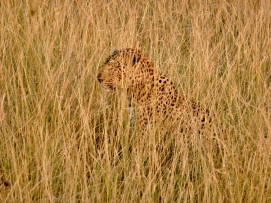 A master of camouflage, this big male LEOPARD blended right in with the surrounding grasses. Photo by Denise Karsten.