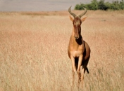 A mid-sized antelope, the HARTEBEEST has a long narrow face and horns that look like a TV antenna.