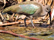 This colourful HADEDA IBIS was one of numerous birds we spotted along the shores of Lake Naivasha.