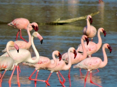 No doubt about it, PINK FLAMINGOS, like these we saw on Lake Nakuru, are real eye-catchers.