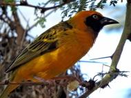 We've already seen lots of weaver-birds, but this little SPEKE'S WEAVER deserved a shot, I reckon.