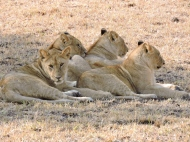 05-03 lions (1024x768)