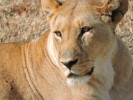 05-04 lions (1024x768)