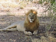 05-05 lions (1024x768)