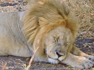 05-07 lions (1024x768)