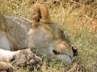 05-08 lions (1024x768)