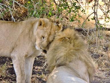 05-09 lions (1024x769)