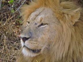 05-11 lions (1024x768)