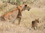 05-14 lions (1024x769)