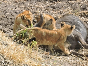 05-15 lions (1024x767)