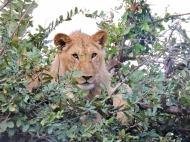 05-19 lions (1024x768)