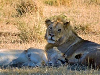 05-22 lions (1024x768)