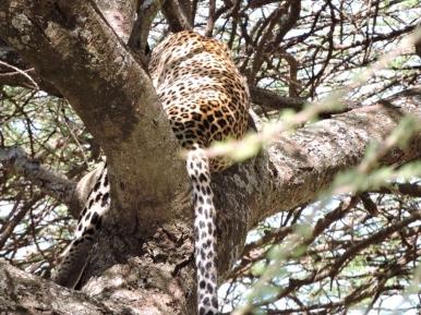 05-25 leopard (1024x768)