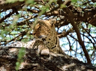 05-26 leopard (1024x768)