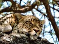 05-29 leopard (1024x768)