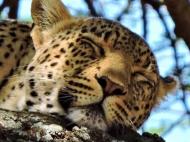 05-30 leopard (1024x768)