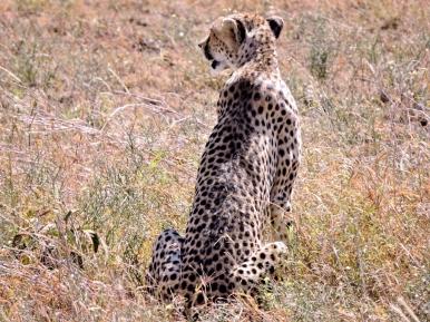 05-31 cheetah (1024x768)