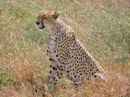 05-33 cheetah (1024x768)