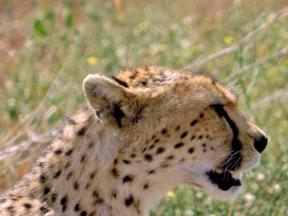 05-34 cheetah (1024x768)