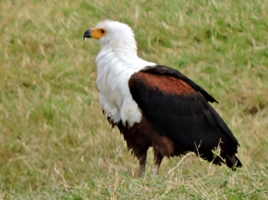 06-04 African fish eagle (1024x768)