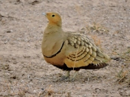 06-08 chestnut-bellied sand grouse (1024x768)