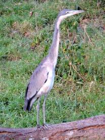 06-14 grey heron (768x1024)