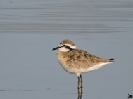 06-17 Kittlitz's plover (1024x768)