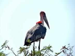 06-22 maribou stork (1024x768)