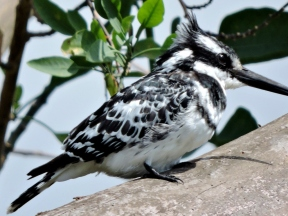 06-23 pied kingfisher (1024x769)