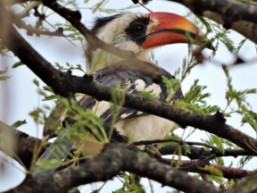 06-24 red-billed hornbill (1024x768)