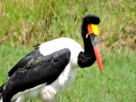 06-26 saddle-billed stork (1024x767)