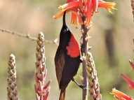 06-27 scarlet-chested sunbird (1024x768)