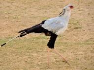 06-28 secretary bird (1024x768)