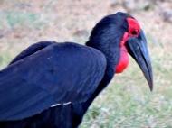 06-30 Southern ground hornbill (1024x768)