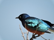 06-31 superb starling (1024x768)