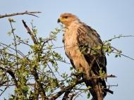 06-32 tawny eagle (1024x769)