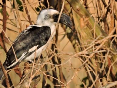 06-33 Van der Decken's hornbill (1024x768)