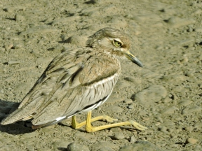 06-34 water thick-knee (1024x768)