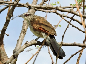 06-35 white-browed coucal (1024x769)