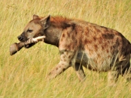 We spotted this hyena with something in its mouth. Look closely and you'll see that it's a ...