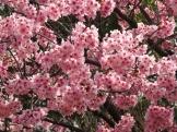 01-05 Tokyo - Sakura-Cherry Blossom Festival (1024x768)