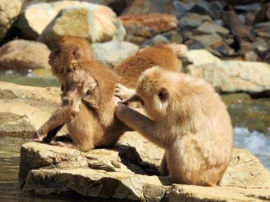 02-26 Nagano - Jigokudani snow monkeys (1024x768)