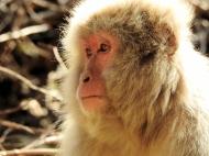 02-27 Nagano - Jigokudani snow monkeys (1024x768)
