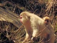 02-28 Nagano - Jigokudani snow monkeys (1024x768)