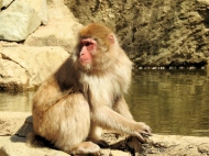 02-30 Nagano - Jigokudani snow monkeys (1024x768)