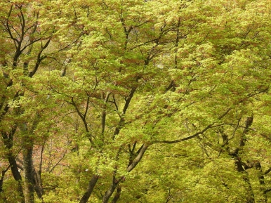 04-09 Kyoto - Japanese maple (1024x768)