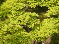 04-10 Kyoto - Japanese maple (1024x768)